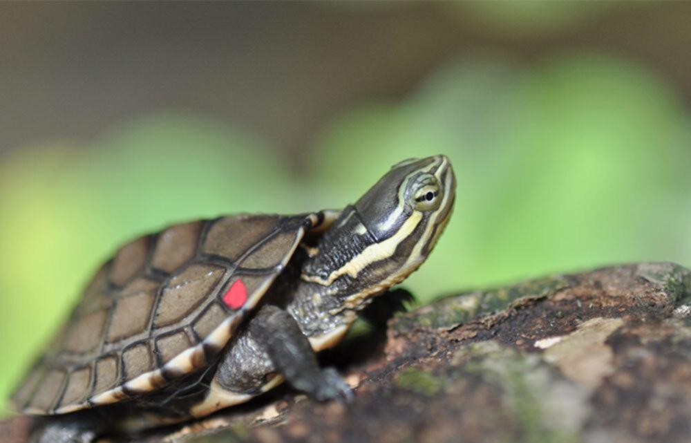 Nằm mơ thấy rùa là điềm gì, đánh con gì?