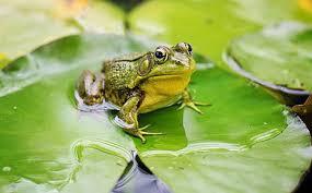Mơ thấy ếch đánh con gì? Giải mã chiêm bao thấy ếch