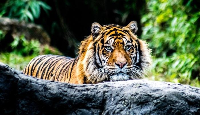 Mơ thấy con hổ đánh con gì?