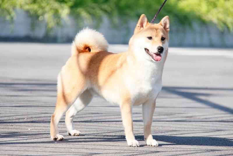 Số đề con chó là gì? Mơ thấy con chó đánh số mấy? Là điềm gì?