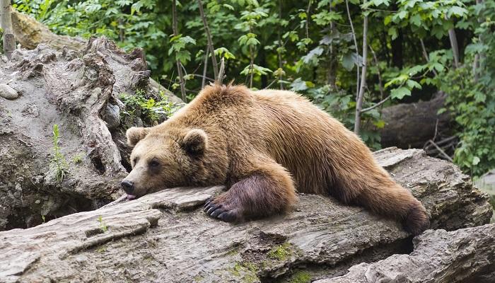 Gấu nâu có ý nghĩa gì? Mơ thấy gấu nâu nên làm gì?