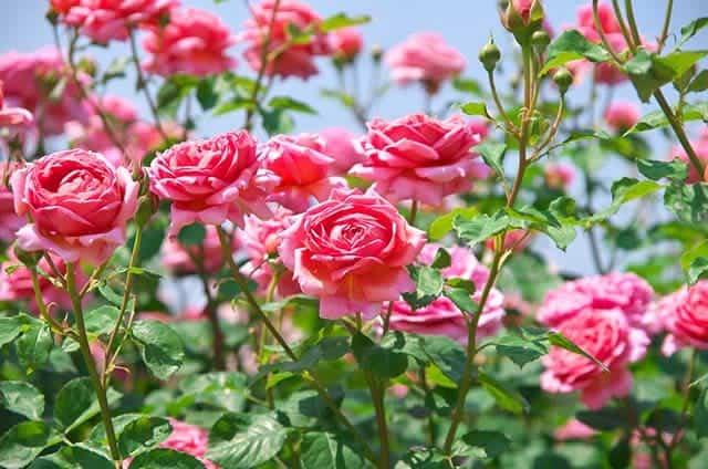 Nằm mơ thấy hoa hồng là điềm gì, đánh con gì?