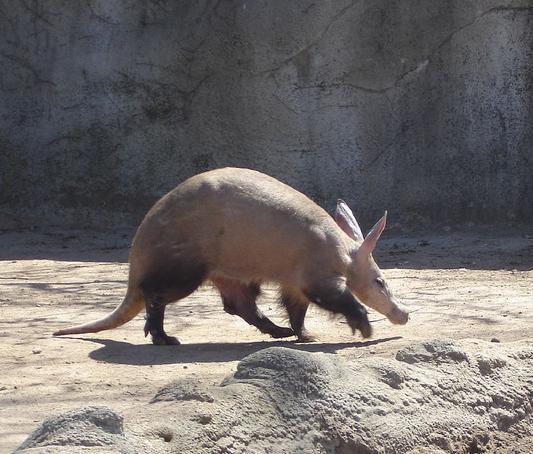 Mơ thấy Aardvark là diềm báo gì ? May mắn hay xui xẻo