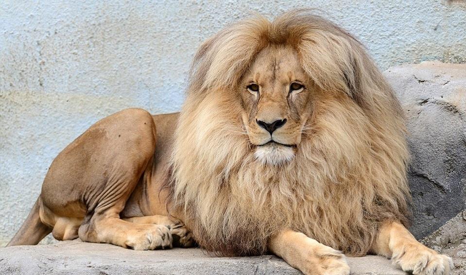 Mơ thấy sư tử đánh con gì? Ý nghĩa các giấc mơ thấy sư tử