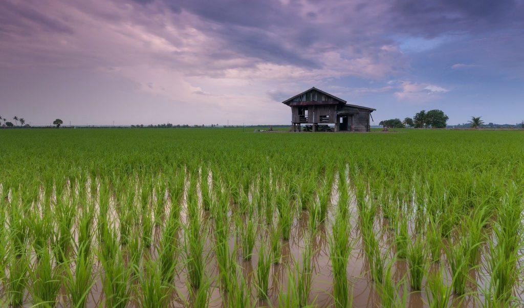 Mơ thấy đồng lúa là điềm báo gì? May mắn hay xui xẻo?