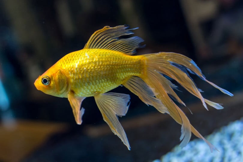 Nằm mơ thấy cá vàng đánh số mấy, có điềm báo như thế nào?
